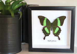 Papilio Palinurus - The Emerald Swallowtail Butterfly