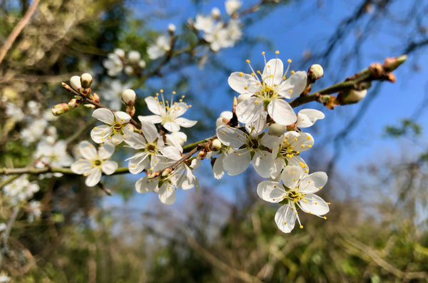 Example of Bokeh Photography, Spring Blossom.
