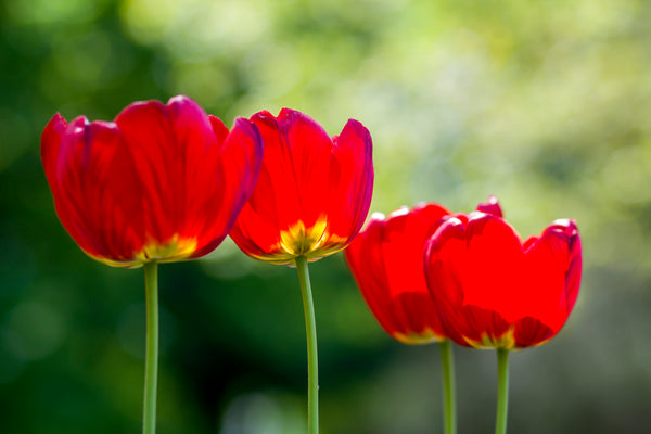 Example of Bokeh Photography - Red Tulips against green background