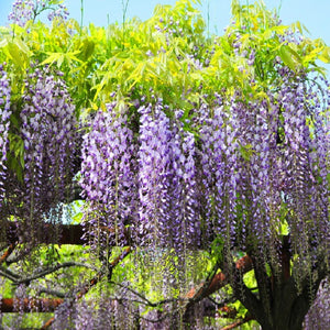 10PCS Purple Floribunda Chinese Wisteria Tree Vine Sinensis Seeds Flower Autumn Seed For Home Garden DIY