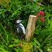 Wooden Greater Spotted Woodpecker