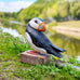 Wooden Puffin Preening