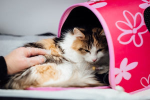 How-to: Provide Post-Neutering and Spaying Care for Cats