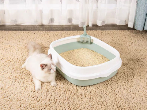 Potty training a ragdoll cat with an open litter box with scooper