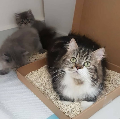 Potty training a cat and her kittens with Pottycats litter