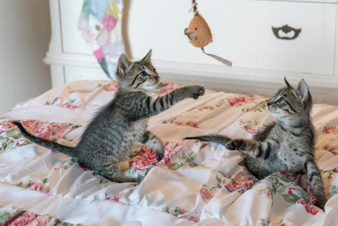 Two grey tabby kittens playing with fish rod cat toy