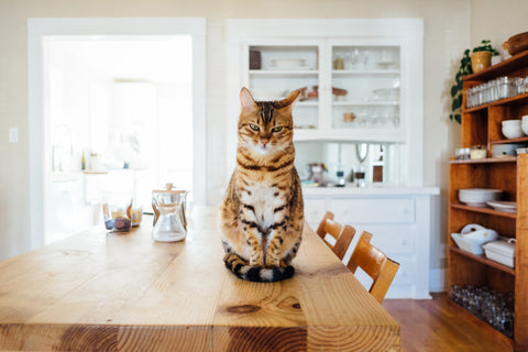 Bengal cat waiting for homemade cat food on kitchen's table