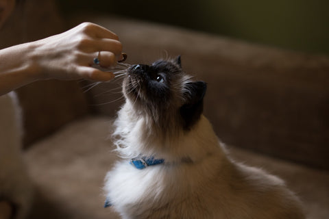 Girl hand feeding a Siamese cat with cat food