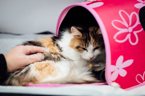 Neutered long-haired calico cat recovering in a pink carrier bag