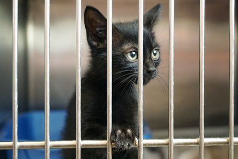 A black kitten looking out from a cage in adoption center