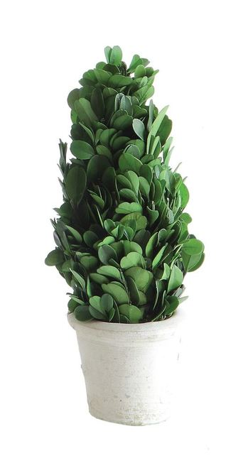 "2.75"" Round x 7.5"" H Preserved Boxwood Cone Topiary in White Clay Pot"