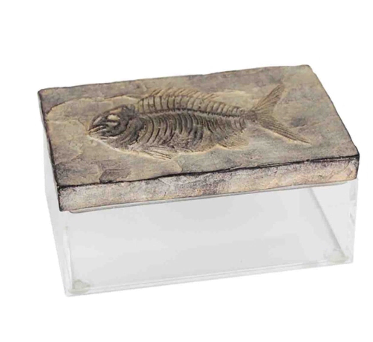 Polyresin fossil with acrylic box