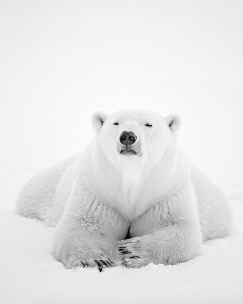 polar-bear-paul-nicklen