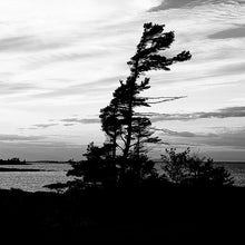 Load image into Gallery viewer, B&W  Windswept Pine - Coasters #0011
