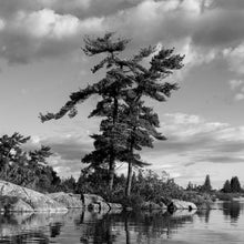 Load image into Gallery viewer, B&W  Windswept Pine - Trivet #0157