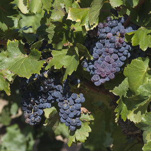 Grenache Red Grapes -Trivet #0498