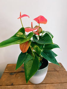 Anthurium (Small - Assorted)