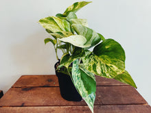Pothos (Assorted)