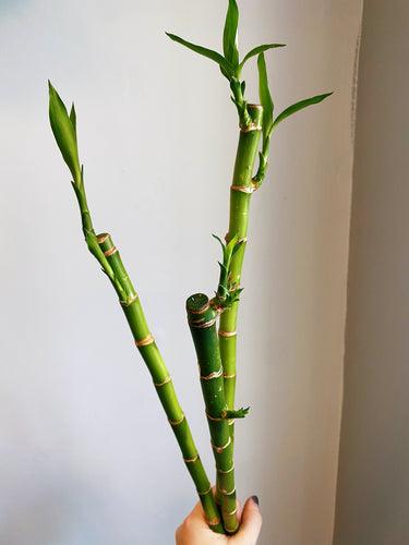 Bamboo (Assorted, single stem)