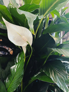 Peace Lily (Assorted Sizes)