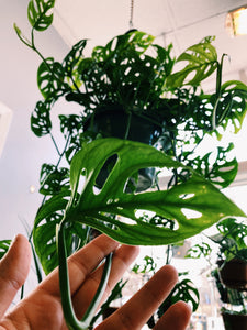 Monstera Andansonii (Swiss Cheese Plant)