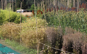 Koanga Institute holds hundreds of heritage cultivars. Images by Kay Baxter