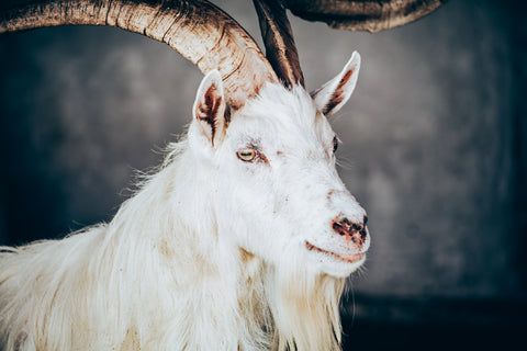 Kasmir-Goat-Jahir-Martinez-Photography