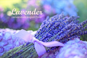 Lavender ~ Queen of the Herbs