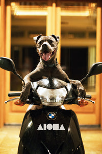 A pitbull dog sitting on a moped with an all white ALOHA Shapes ® logo decal sticker on the front of moped.
