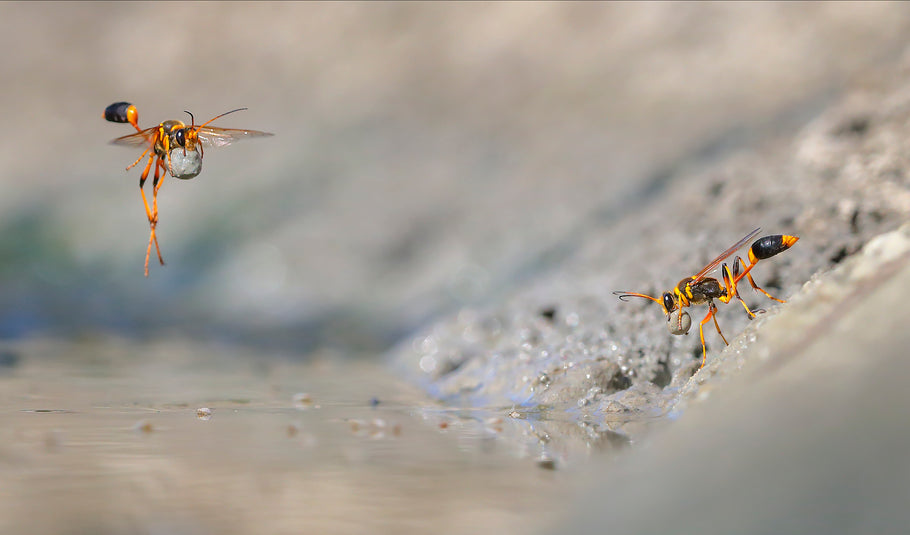 Behind the Scenes - Mud-Dauber Wasps (Wildlife Photographer of the Year 2018)