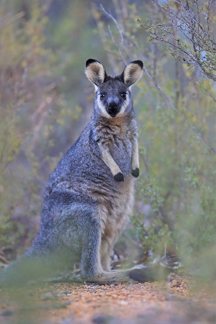 Black-gloved Wallaby
