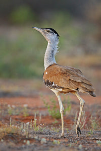 The Bustard - Fine Art