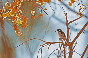 New Holland Honeyeater 001
