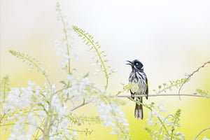 New Holland Honeyeater 002