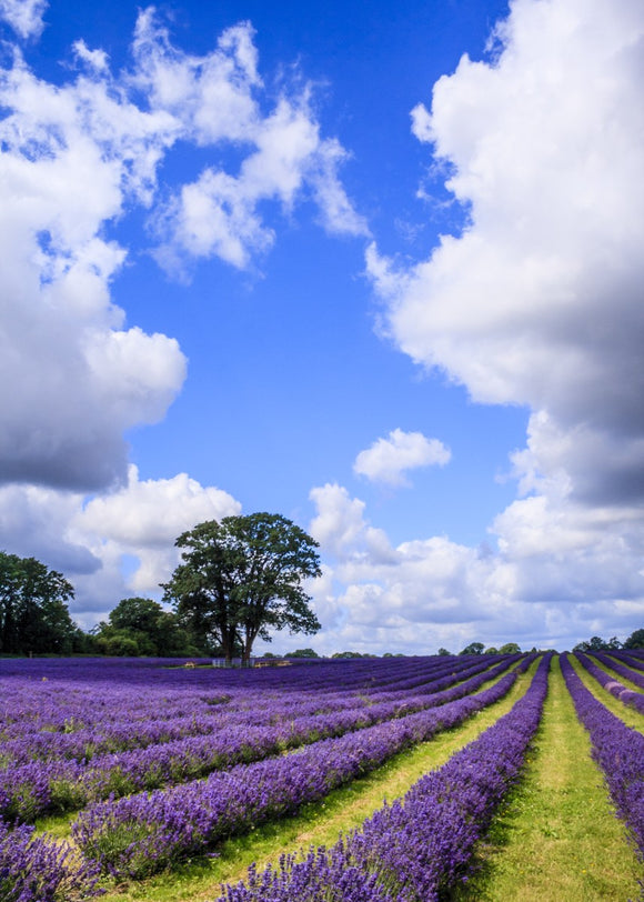 English Lavender and Summer Sky
