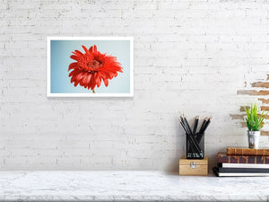 Red Gerbera on Blue print