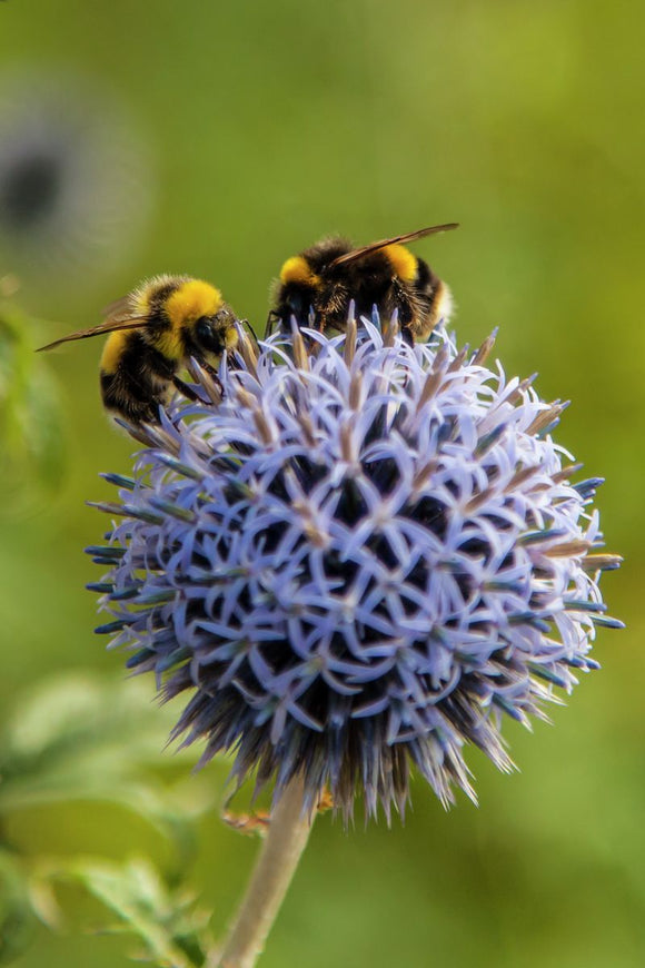 Two Bees on Echinops Globe Thistle