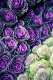 Ornamental Cabbages print