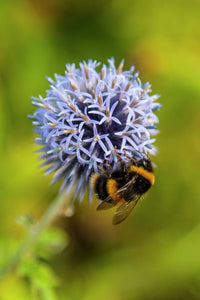 Bee on Globe Thistle