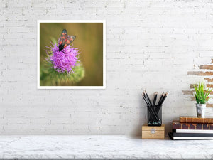 Six-spotted Burnet Moth on Mauve Thistle Flower