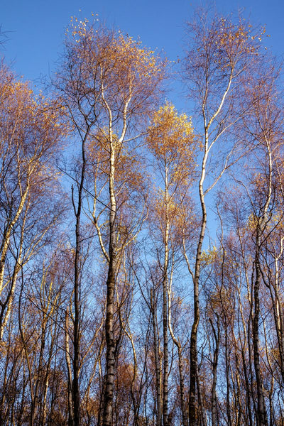 Silver Birches and Blue Sky