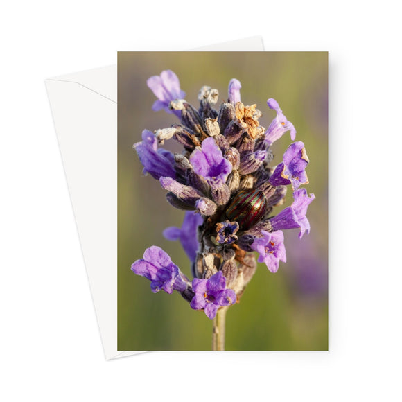 'Rosemary Beetle on Lavender' -  Greeting Card