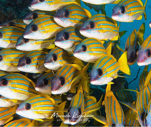 Image of a school of bluestripe snappers swimming in the sea. Photo by @manuela.kirschner on Instagram.