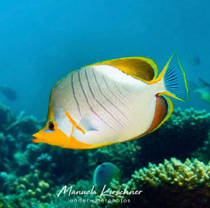 Image of a butterfly fish swimming by the coral reef. Photo by @manuela.kirschner on Instagram.