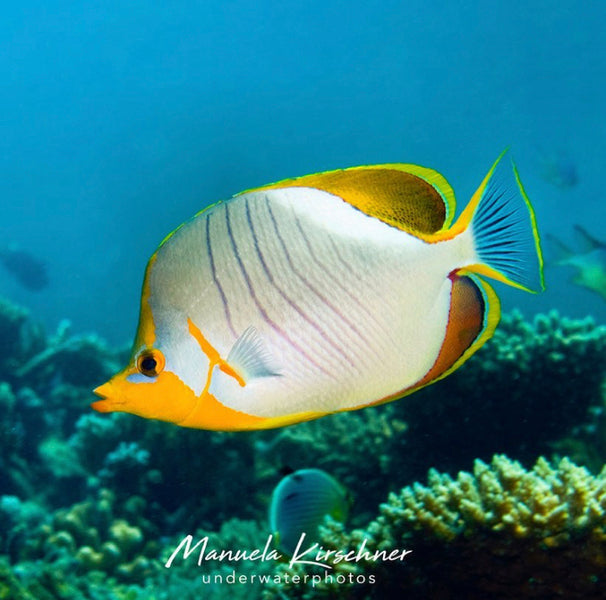Wisdom Wednesday | Butterfly Fish