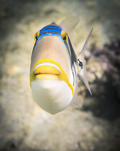 Picasso Triggerfish image from Instagram user submerged_images
