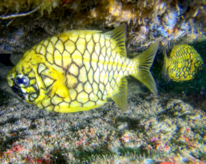 Pineapple Fish image by @divercaptain on Instagram
