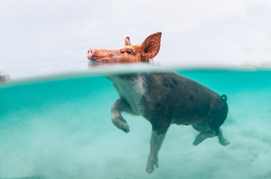 Photo of swimming pigs in the Bahamas by John Garza on Instagram