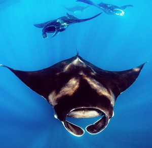 Photo of a Manta Ray by Instagram user Jim Abernethy