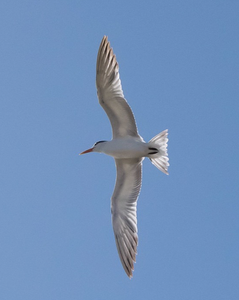 Image of a tern by Instagram user Peter Rae